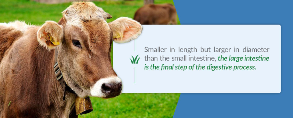 A cow's large intestine is smaller in length, but larger in diameter and is the final step in the digestive process